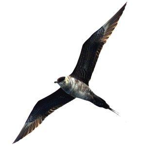 Long-tailed Skua - Stercoarius longicaudus