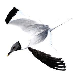 Sabines Gull - Xema sabini