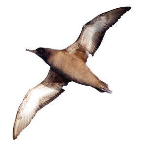 Sooty Shearwater - Ardenna grisea