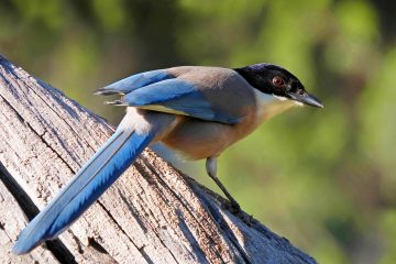 Iberian Magpie - Birdwatching in the Algarve